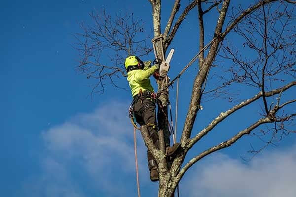 Tree climber adjusting position to trim tree